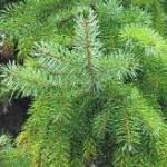 Pyknogenol urvinns från Pinus, maritima