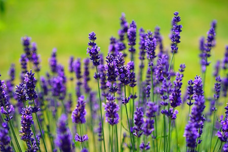 Lavendel i aromaterapi - torkade lavendelblommor, eterisk lavendelolja, värmekudde med lavendel.
