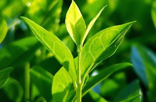 teatree - användning av tea tree olja
