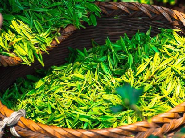 Gront te extrakt kan ha fördelar vid stress, oro, sömnsvårigheter och när man vill uppnå viktminskning.