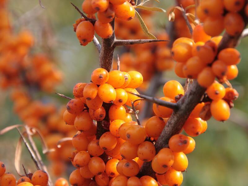 Havtornsbär bidrar till friskare slemhinnor