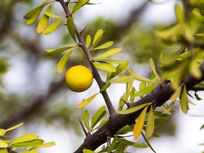 Sju olika användningsområden av arganolja