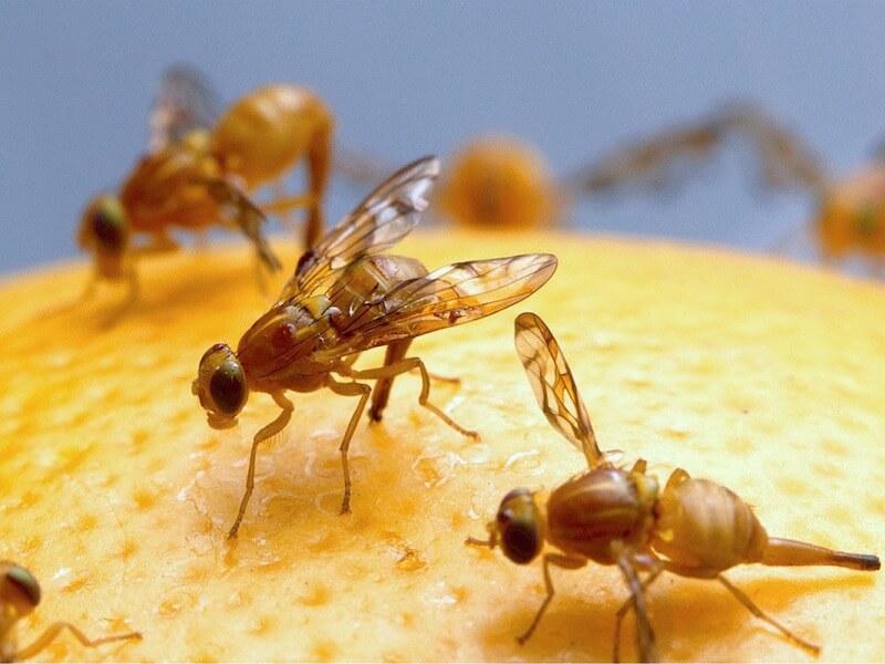 3 effektiva sätt att bli av med fruktflugor (bananflugor)