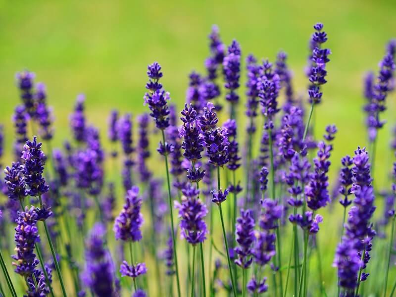 Lavendel - En stjärna i husapoteket!