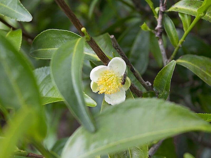 Tea tree oljan som hör hemma i varje husapotek!