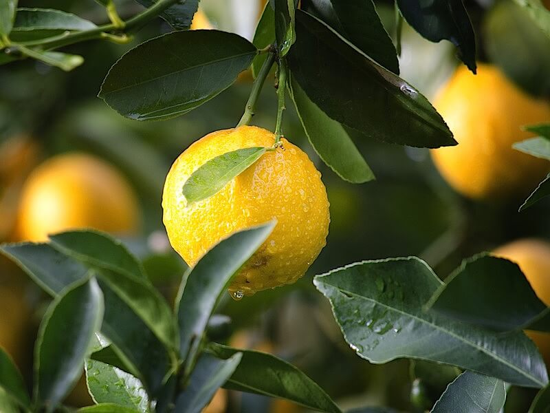 Egenskaper av eterisk citronolja