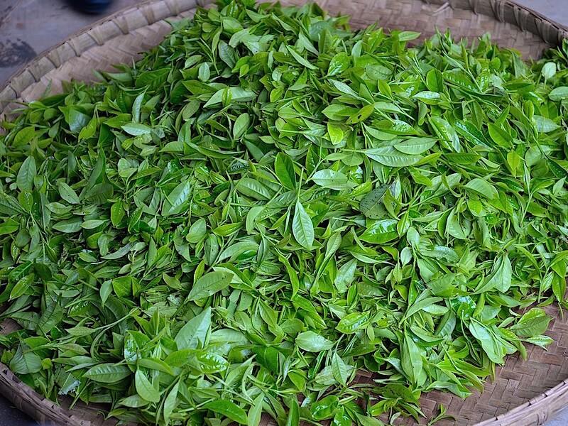 Stresshantering med l-theanin från grönt te