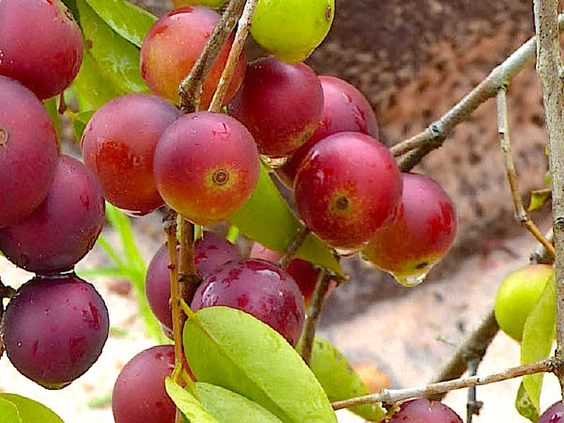 Camu Camu - Ett naturligt tillskott av C-vitamin