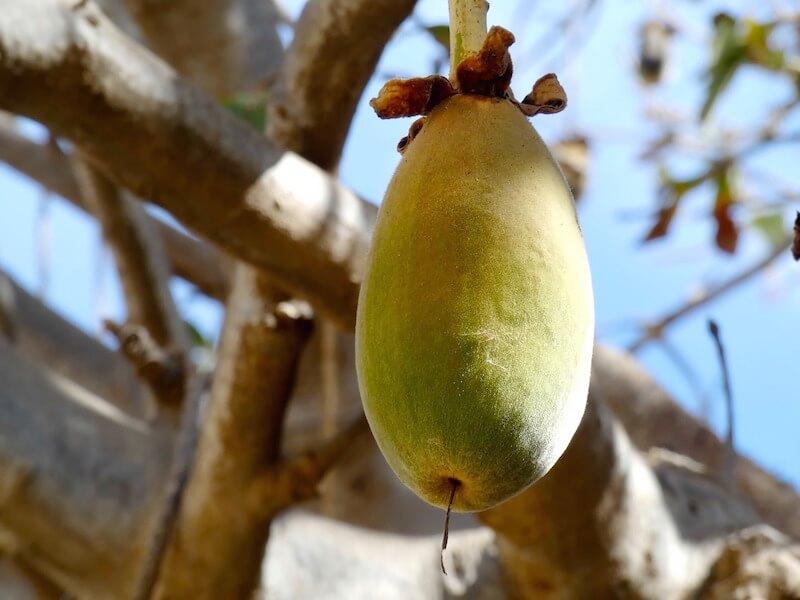 Baobab - en superfrukt från Afrikas Savann