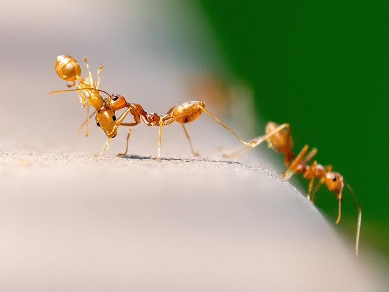 Ett naturligt och effektivt medel mot myror