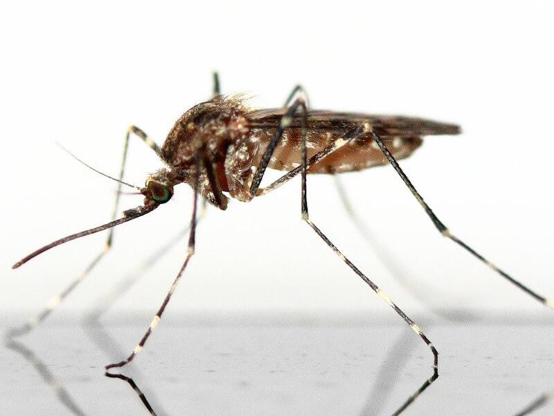 Sa enkelt gör du själv naturligt myggmedel