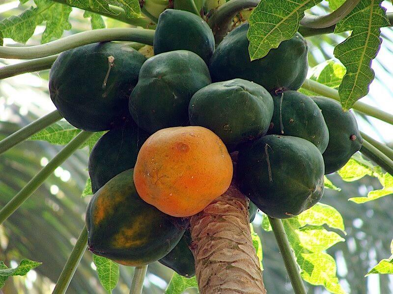 Det unika med papaya som livsmedel