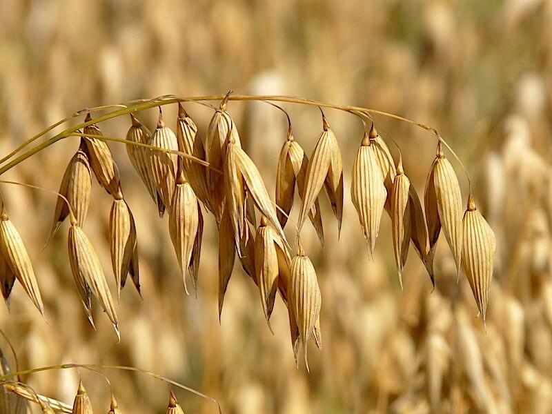 Havre som livsmedel och proteinkälla