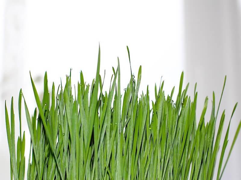 Att odla vetegräs hemma