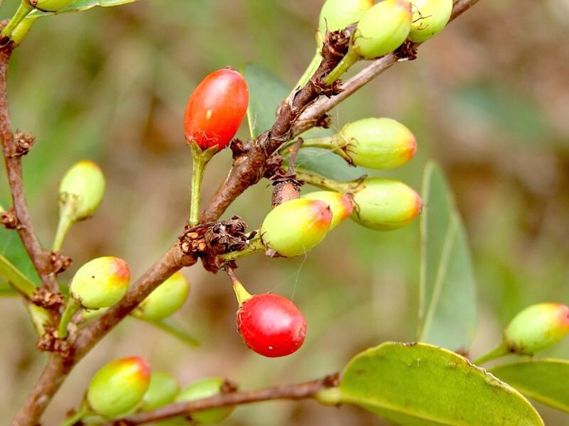 Använda Catuaba som läkeväxt